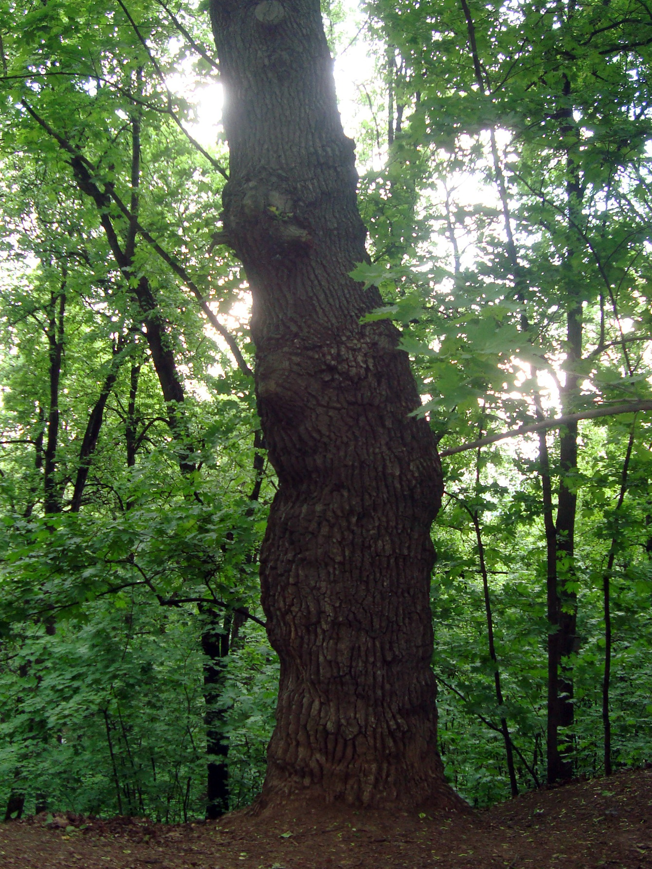 Дерево на Воробьевых горах